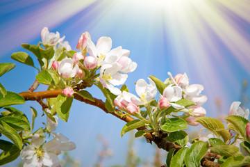 Wall Mural - Sonne auf Apfelblüte