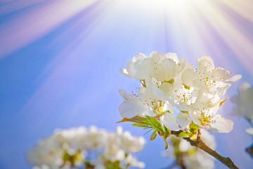 Wall Mural - Kirschblüte im Licht