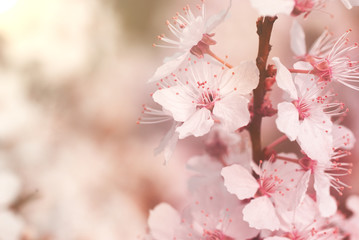 Blooming mirabelle plum tree with warm pink filter