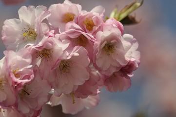 kirschblüte 77