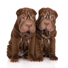 two chocolate brown sharpei puppies sitting on white