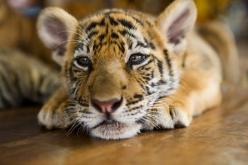 Cute little tiger cub lying on a wooden floor