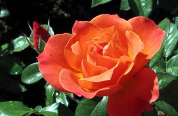 Beautiful Orange Rose