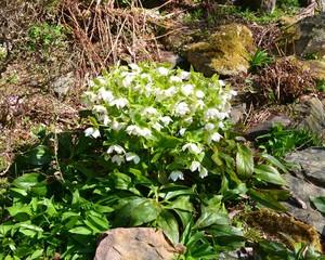 Rhododendron im Steingarten weiß blühend -  Ericaceae