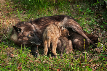 Wall Mural - Black Wolf (Canis lupus) Feeds Her Pups
