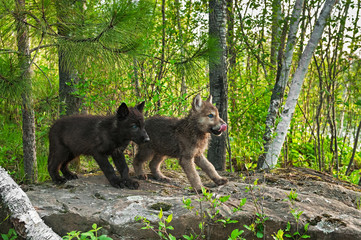 Two Wolf Pups (Canis lupus) Stand on Rock