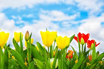 Frühlingshintergrund Tulpenfeld