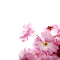 Spring flowering branches, blossoms isolated on white