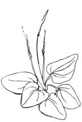 vector sketch of medicinal plant plantain