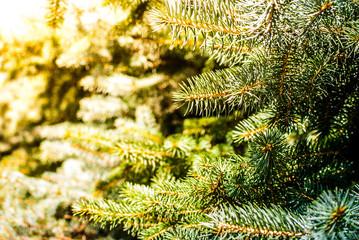 Christmas green fir branch