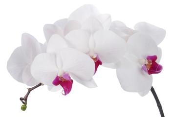 Fototapeta Orchid flower on a white background