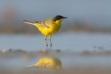 Black-headed Wagtail