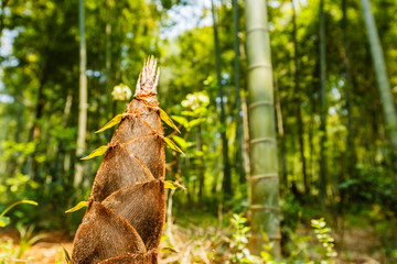 bamboo shoots of the growth in the forest