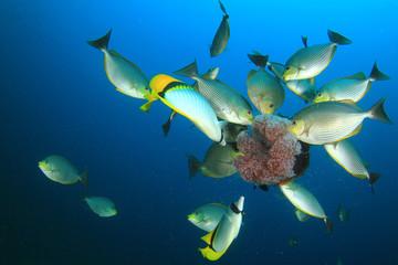 Rabbitfish eating Jellyfish underwater
