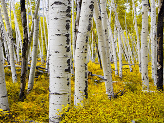 Aspen Forest Close Up