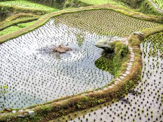 Rice Terrace Field