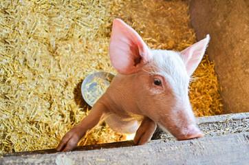 Little piggy profile