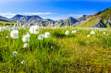 Landmannalaugar - Amazing flower field in the Highland of Icelan