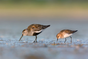 Dunlin and Little stint