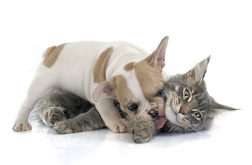 puppy french bulldog and cat