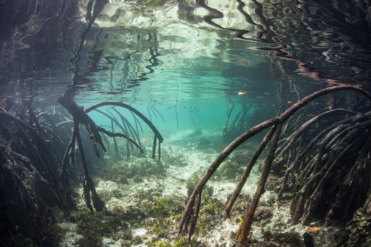Mangrove Prop Roots Underwater
