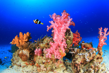 Coral and Clownfish and Anemone