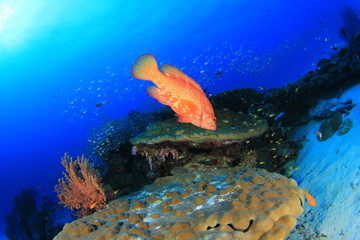 Coral Grouper fish on reef