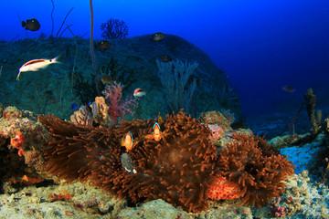 Red Anemone and clownfish (Nemo)