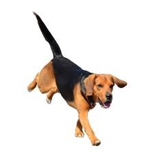 Running Beagle dog isolated on white.