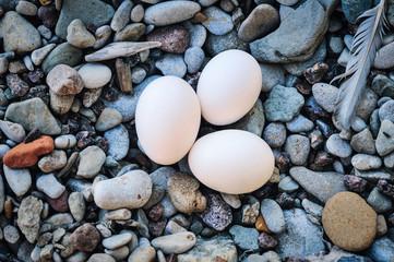 White hen eggs