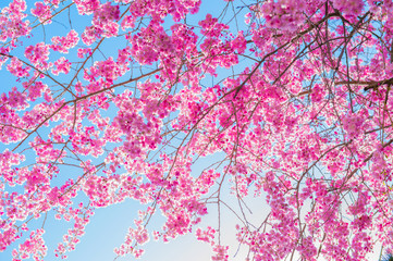 Wall Mural - Cherry Blossom with Soft focus, Sakura season Background