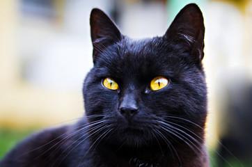 Fototapete - black cat