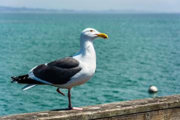 Seagull on the pier in Santa Cruz, California.