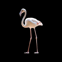 pink flamingo on black background