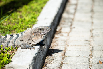 Iguana warms itself on a cement street in Mexico