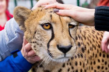 cheetah in zoo