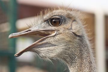 Head of an ostrich close up
