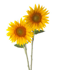 Two Sunflowers isolated on a white background.