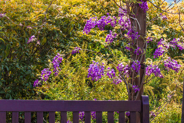 Wild wisteria and wooden bench.