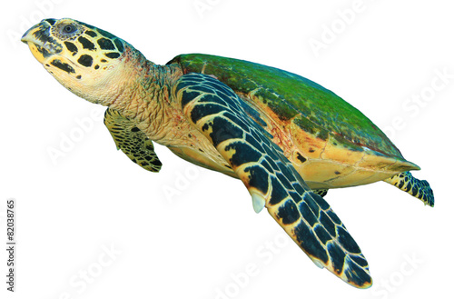 hawksbill sea turtles essay