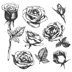 Set of highly detailed hand-drawn roses. Vector