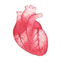Watercolor realistic human heart on the white background