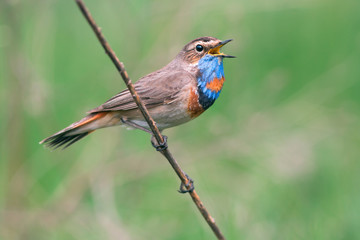 Bluethroat singing on the branch