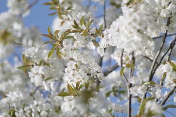 Kirschblüten in München