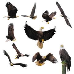 Poster Eagle Bald eagles.