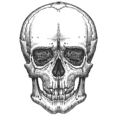 human skull on a white background. sketch