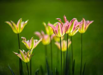"""Virichic""- viridiflora tulip at springtime in garden."