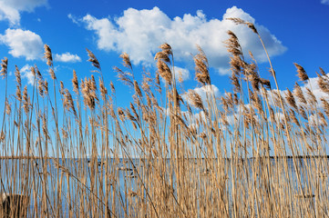 Reeds at the sea