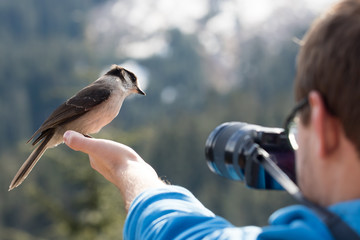 Gray Jay Bird in Photographer's Hand