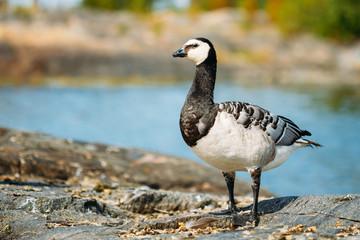 Barnacle Goose, Branta Leucopsis, Feral Goose On Rock